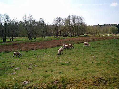 Schafe Wentorfer Lohe