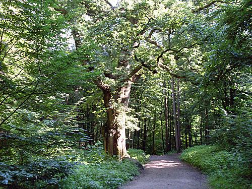 alte Eiche in Reinbek
