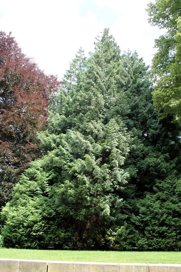 Der älteste Baum von Reinbek